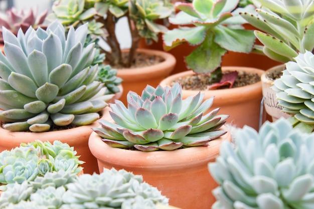 Différents types de succulents dans des pots de fleurs dans la serre Photo Premium