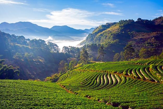 Doi ang khang paysage du jardin de fraises avec le lever du soleil à doi ang khang, chiang mai, thaïlande Photo Premium