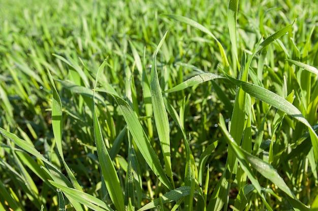 Domaine Agricole Sur Lequel Poussent De Jeunes Céréales Immatures, Du Blé. Photo Premium