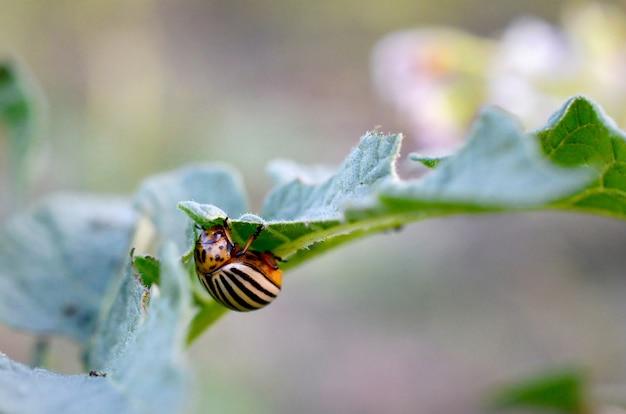 Doryphore Leptinotarsa Decemlineata Rampant Sur Des Feuilles De Pomme De Terre Photo Premium