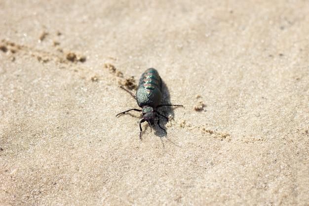 Doryphore sur le sable, gros plan. nature sauvage printemps coléoptère Photo Premium