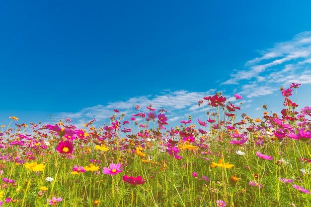 Doux coloré de fleur de cosmos avec ciel bleu et nuages blancs. Photo Premium