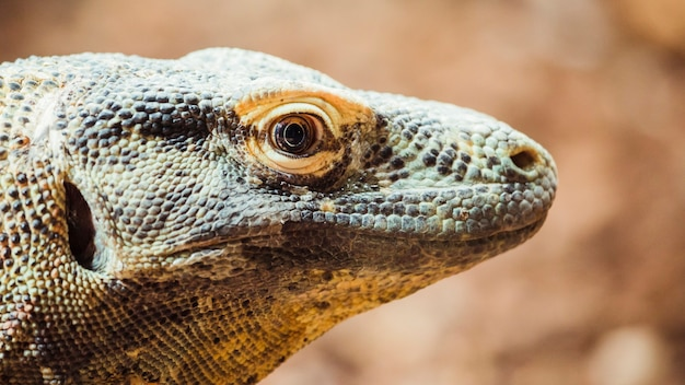 Dragon de komodo Photo gratuit