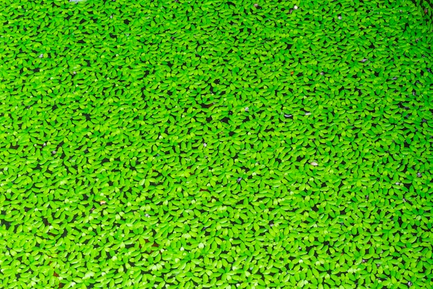Duckweed couvert à la surface de l'eau Photo Premium