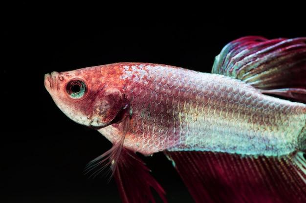 Dumbo betta splendens rose et violet dégradé de poissons de combat Photo gratuit