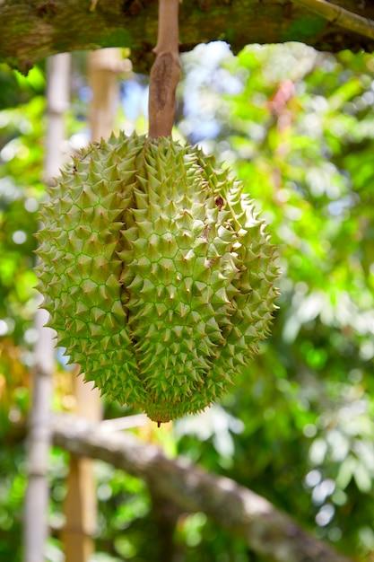 Durian sur l'arbre dans le jardin Photo Premium