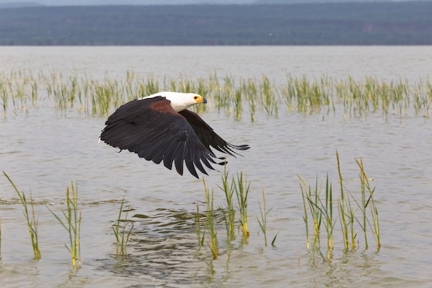Eagle Attrape Des Poissons à La Surface Du Lac Baringo Au Kenya Photo Premium