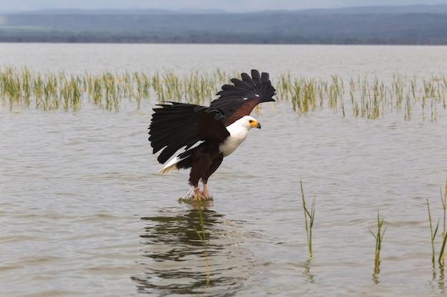 Eagle Pêcheur Eagle Du Lac Baringo Kenya Afrique Photo Premium