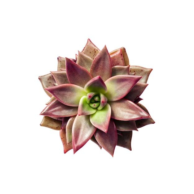 Echeveria taurus rouge plante closeup isolé sur fond blanc avec un tracé de détourage Photo Premium