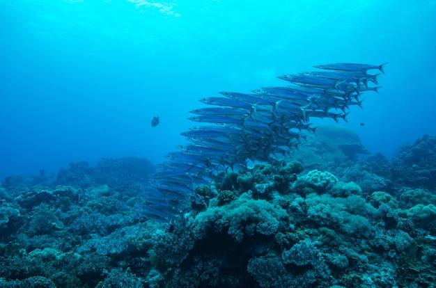 L'école de chevron barracudas Photo Premium