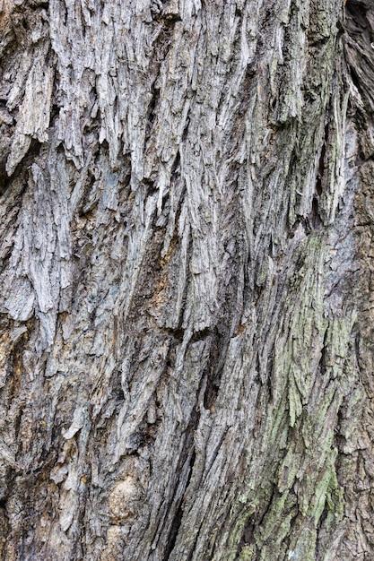 Écorce D'une Grande Texture D'arbre Photo Premium