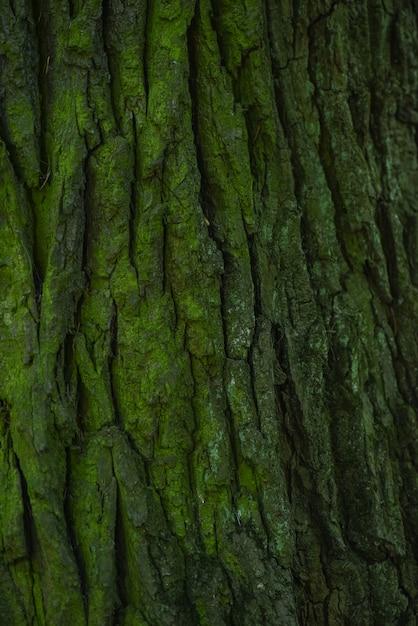 Écorce verte d'un vieux chêne se bouchent. Photo Premium