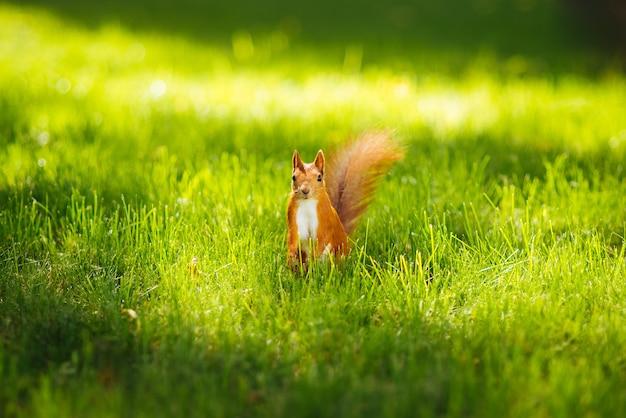 Écureuil dans l'herbe dans le parc en été Photo gratuit