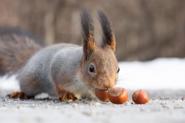 Un écureuil grignote des noix sur la neige Photo Premium