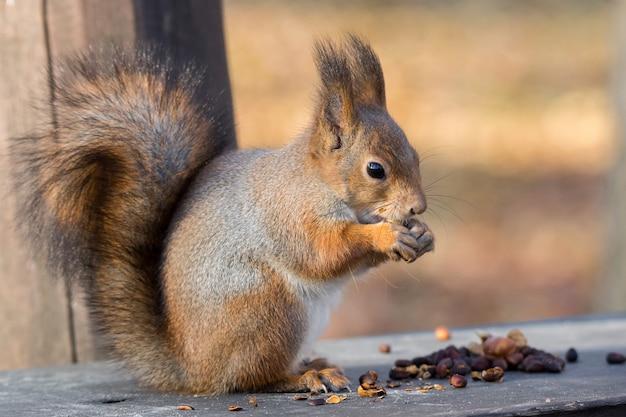 Ecureuil roux sur une branche en automne Photo Premium