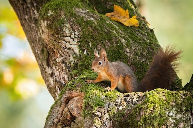 Un soir en Flandre - Anna de Noailles Ecureuil-roux-se-cachant-dans-tronc-arbre-moussu-feuilles-automne-jaune_158217-72