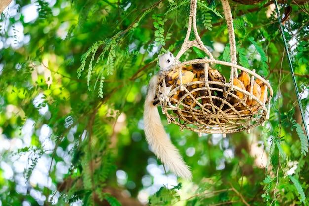 Écureuil ruisselant de fruits dans un panier suspendu à un arbre Photo Premium