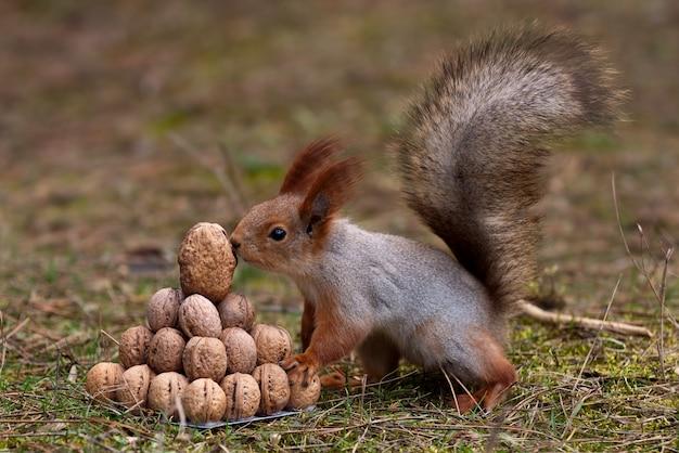 L'écureuil Se Tient Sur Le Sol Devant Un Tas De Noix Photo Premium
