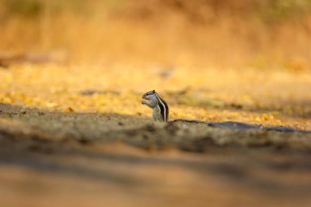 Ecureuil terrestre au manteau d'or, écureuil indien Photo Premium