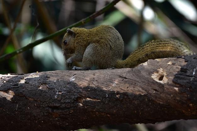 Écureuil à Ventre Gris En Forêt Photo Premium