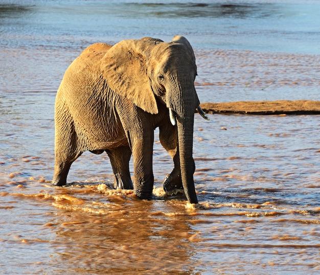 Éléphant Afrikanskfy Dans Leur Habitat Naturel. Kenya. Photo Premium