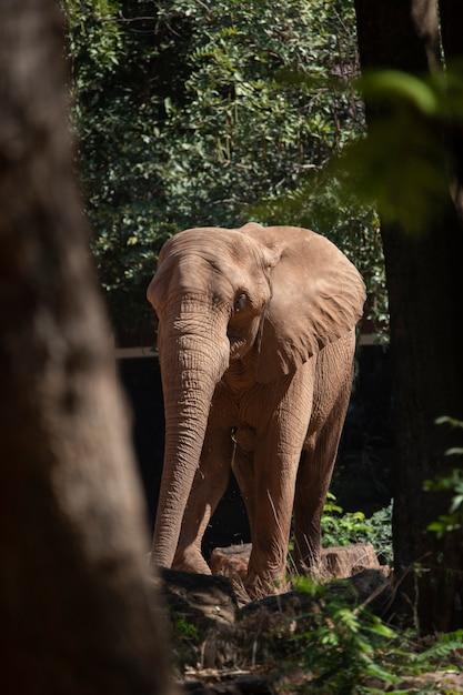 Éléphant d'afrique dans un zoo Photo Premium