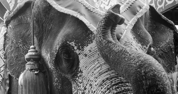 Eléphant d'asie en noir et blanc Photo Premium