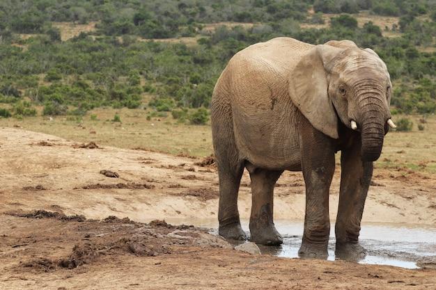 Éléphant Boueux Jouant Dans Une Flaque D'eau Dans La Jungle Photo gratuit