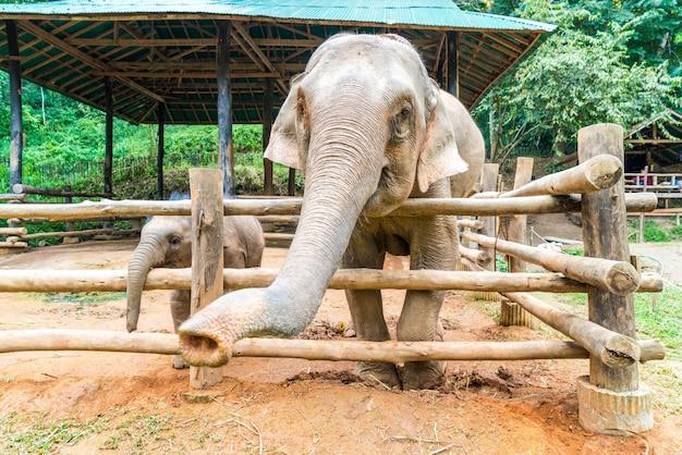 Éléphant à chiang mai, thaïlande Photo Premium