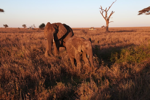 Éléphant dans la savane au kenya et en tanzanie, afrique Photo Premium