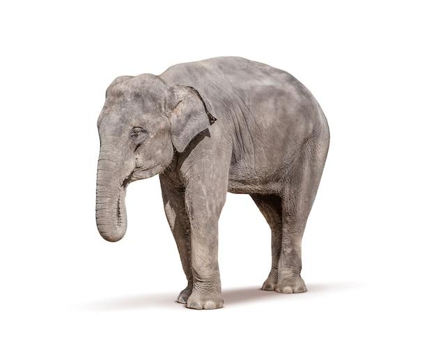 Éléphant isolé sur blanc Photo Premium