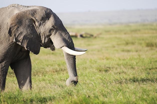 Éléphant Marchant Sur Un Champ Vert Dans Le Parc National D'amboseli, Kenya Photo gratuit