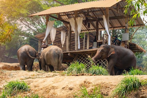 Éléphant trekking à travers la jungle et rester à la maison dans le camp d'éléphants de maetaman, chiang mai nord du thaïlande. Photo Premium