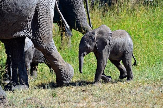 Éléphants D'afrique Dans Leur Habitat Naturel. Kenya. Afrique. Photo Premium