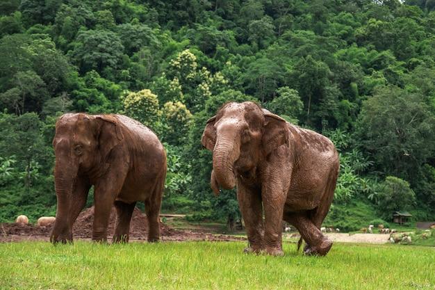 Éléphants à chiang mai. parc naturel d'éléphants, thaïlande Photo Premium