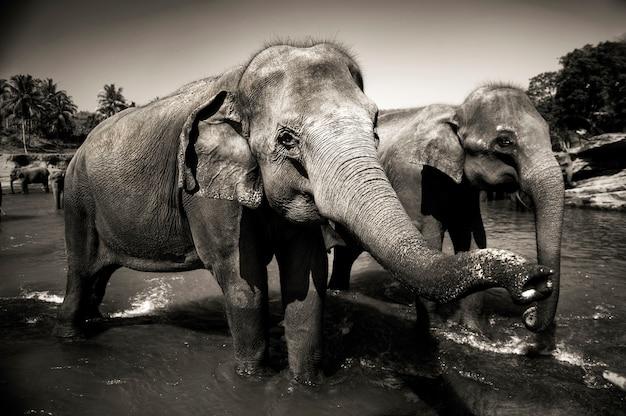 Éléphants du sri lanka. Photo gratuit