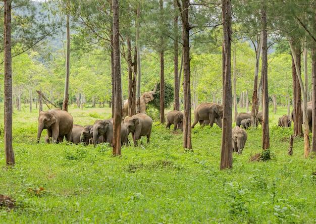 Les éléphants sauvages d'asie ont l'air très heureux avec la nourriture pendant la saison des pluies Photo Premium