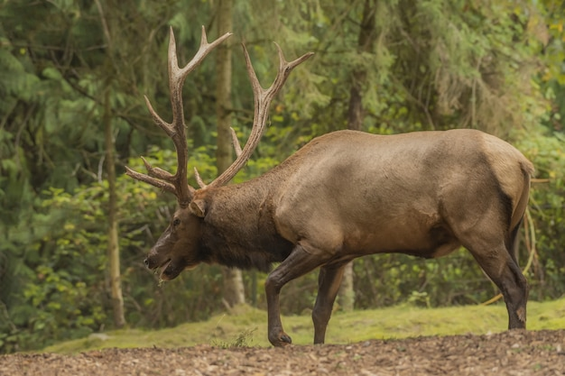 Elk Marchant Dans La Forêt Photo gratuit