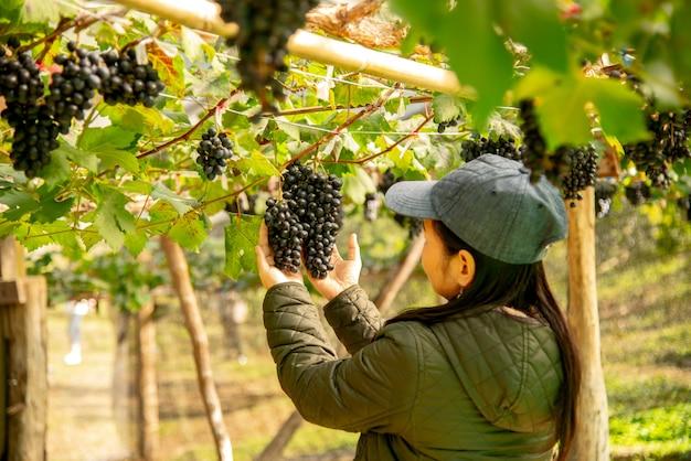 Les employés du vignoble inspectent des raisins de qualité lors de la livraison. Photo Premium