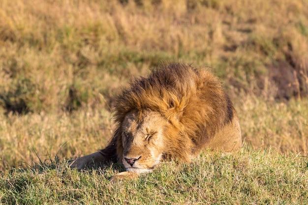 L'énorme Lion Est Endormi Masai Mara Kenya Photo Premium