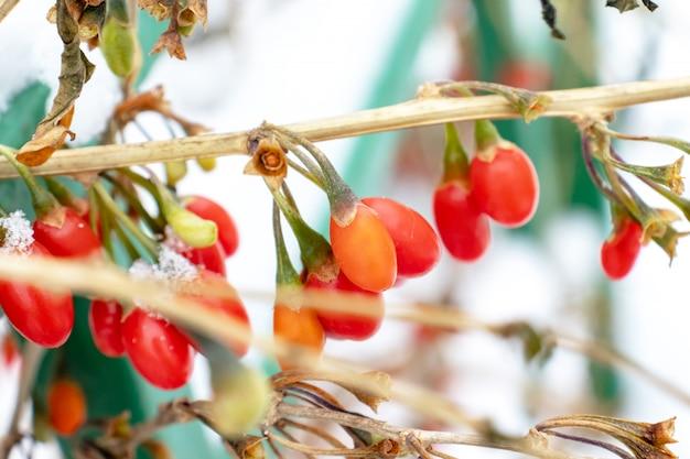 Epine-vinette, branche de berberis vulgaris, baies de berberis thunbergii Photo Premium