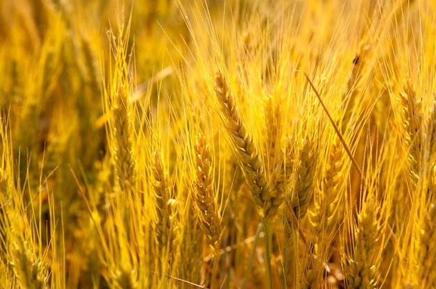 Épis de blé dans un champ doré avec des céréales Photo Premium