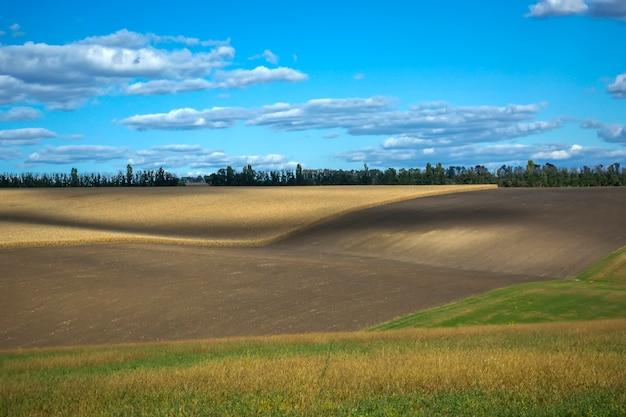 Épis de maïs mûrs dans le champ, plein de gros grains, dans le ciel. Photo Premium