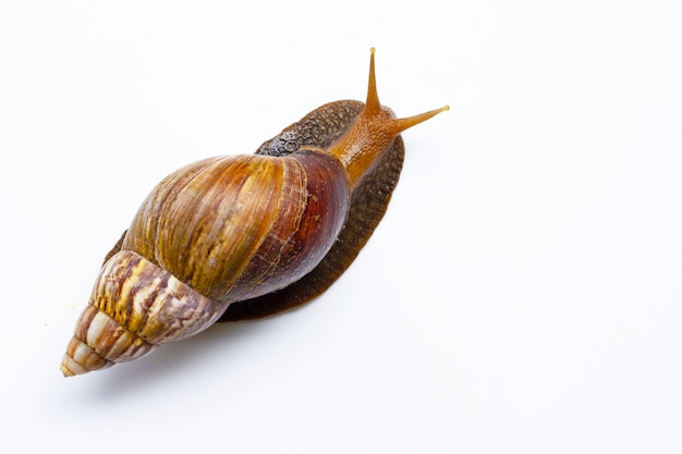 Escargot Isolé Sur Fond Blanc. Photo Premium