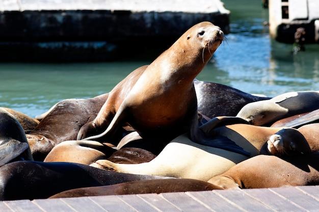 C'est Pier 39 Et Les Lions De Mer à San Francisco. Photo Premium