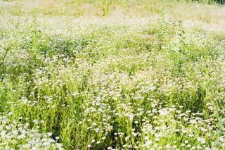 Été chamomiles Photo gratuit