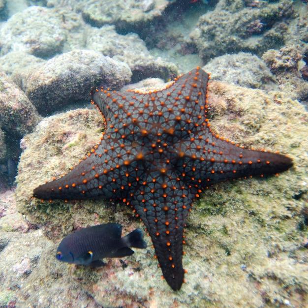 Étoile de mer avec un autre petit poisson sur un rocher, île bartolome, îles galapagos, équateur Photo Premium