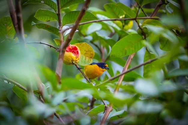 Euphonia à gorge pourpre (euphonia chlorotica) oiseau aka fim fim mangeant de la goyave dans la campagne brésilienne Photo Premium