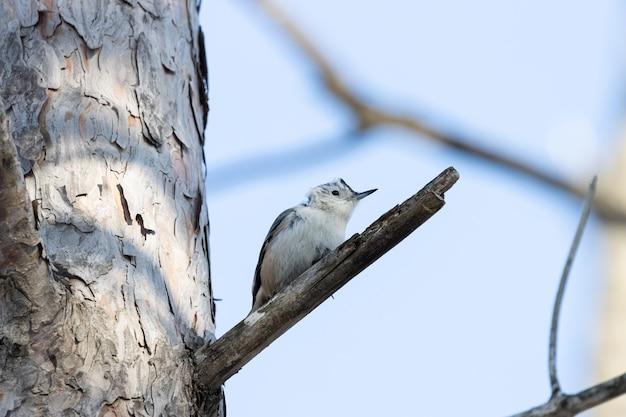 Faible Angle D'un Bel Oiseau Sittelle à Poitrine Blanche Reposant Sur La Branche D'un Arbre Photo gratuit