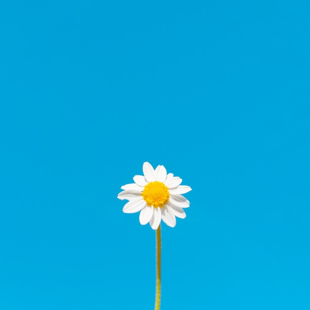 Faible Angle De Fleur De Camomille Avec Espace Copie Photo Premium